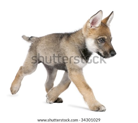 Young European wolf running - Canis lupus lupus in front of a white background