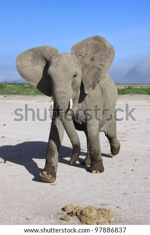 Young excitable elephant mock charges in East African National Park