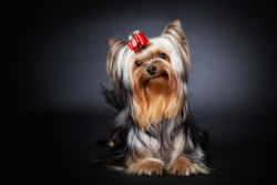 Young  Exhibition Yorkshire Terrier