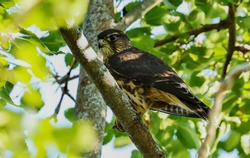 Young falcon perched on a branch tree