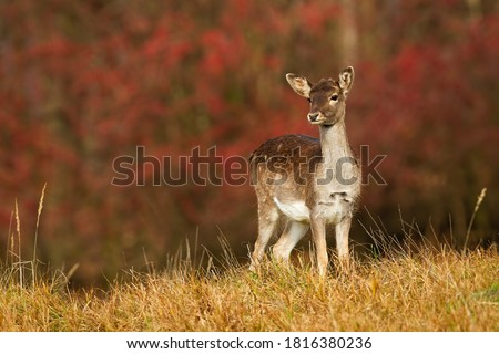 Young fallow deer, dama dama, fawn looking on autumn meadow with red leaves in background. Spotted mammal with brown fur standing in colorful autumn scenery with copy space. Foto stock ©