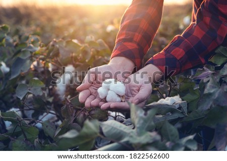 Young farmer woman holding a cotton cocoon in the palm of her hand in a cotton field. The sun goes down in the background.