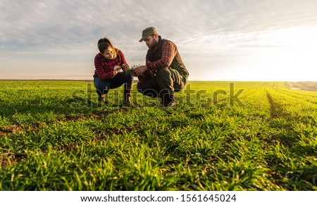 Young farmers examing  planted wheat in the fields Photo stock ©