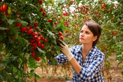 Young female farm worker gathering crop of organic red cherry tomatoes cultivar in hothouse. Summer harvest time