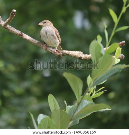 Young female house sparrow (Passer domesticus) bird perched on dead magnolia tree branch with winterberry branch in foreground in northern New Jersey garden summer August 2019