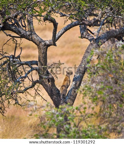 Young female leopard climbs tree