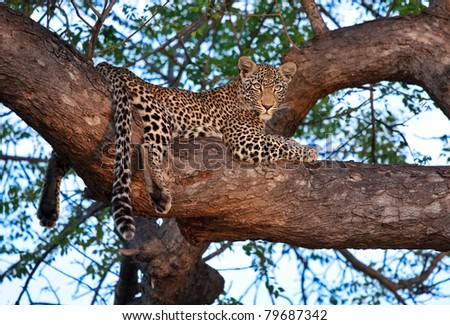 young female leopard on branch of big tree in Sabi Sand nature reserve, South Africa