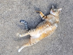 Young female pussycat rolling and playing on concrete floor. Cute and funny pose.