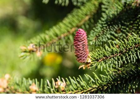 young fir cone on a fir-tree branch #1281037306
