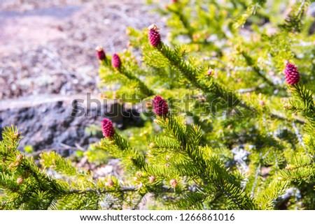 Young fir cones and fir tree branches #1266861016