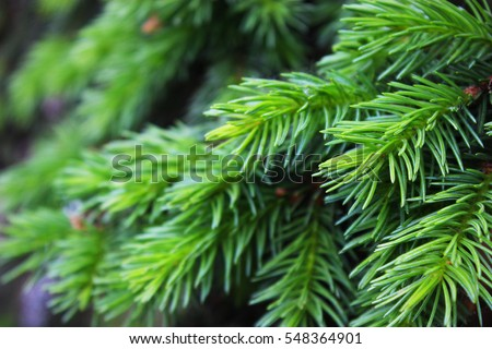 Young fir needles. Background