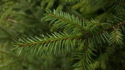 Young fluffy coniferous twig close-up on a Christmas tree against the background of green needles of fir branches.