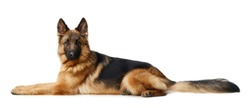 Young Fluffy German Shepherd Dog lying against white background. Two Years Old Pet.