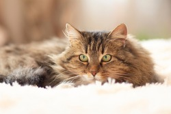 young fluffy ginger Siberian cat lying on bed resting and watch with interest , concept lovely pets