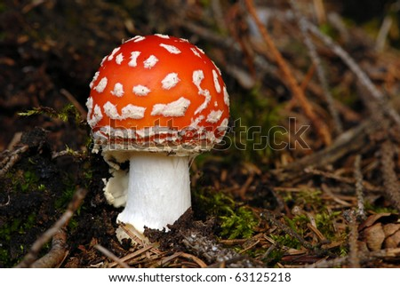 Young fly mushroom Amanita muscaria colors of autumn