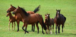 Young foal horses and mothers in field in fall season in Eastern township, Quebec, Canada