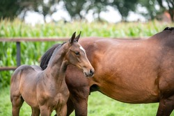 Young foal horses with mother - Show jumping foals