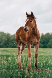 young foal standing in a blooming field of yellow wild flowers