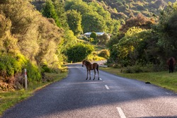 Young foal staying in the middle of the road, near Te Urewera National Park in New Zealand