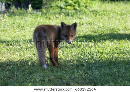 young fox #668192164