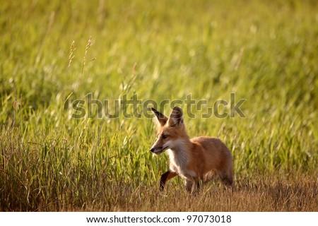 Young fox beside a Saskatchewan country road