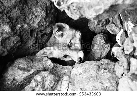 Young fox comes out of the hole, black and white photo, old photo.