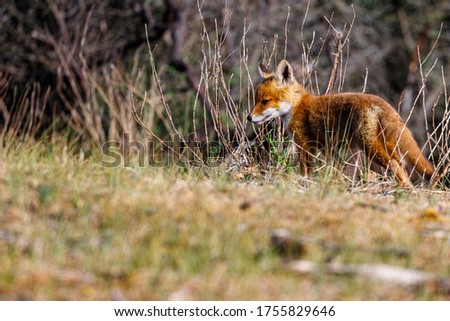 Young fox in the dunes of the Amsterdam water supply Area - Jonge vos in de Amsterdamse Waterleiding Duinen (AWD) Stockfoto ©