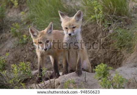 Young Fox Kit kits playing Saskatchewan Canada