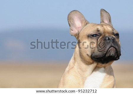 young French Bulldog puppie 11 months bodytalking frust and refusal or proudly, insecurity or free interpretation