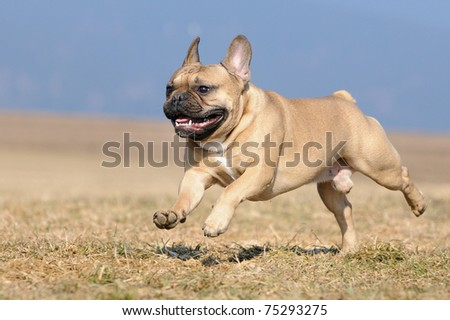 young French Bulldog puppie 11 months running happy in the field