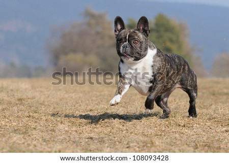 young French Bulldog runs happy in the field