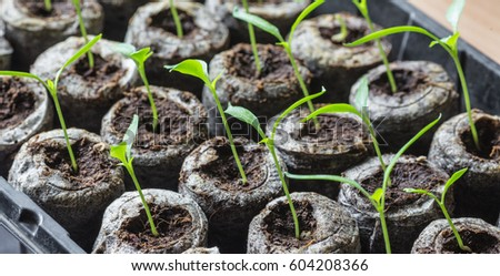 Young fresh seedling stands in plastic pots. cucumber plantation. cultivation of cucumbers in greenhouse. Cucumber seedlings sprout Selective focus and shallow Depth of field.