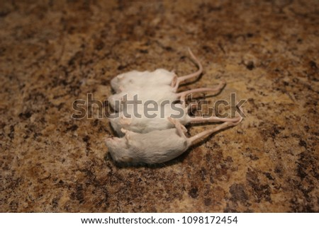 Young frozen mice to feed a snake or lizard