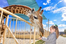 Young funny giraffe and beautiful little girl at the zoo. Little girl feeding a giraffe at the zoo at the day time. Child, cute giraffe and bright blue sky in wild animals zoo park