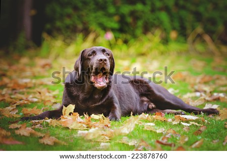 young funny labrador retriever dog lying down