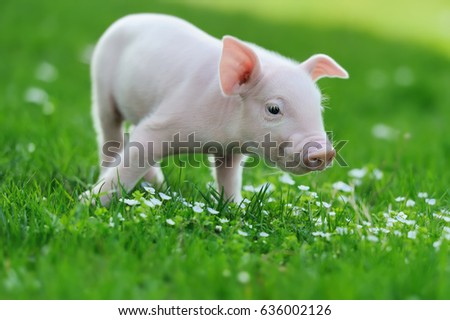 Young funny pig on a spring green grass Stock photo ©