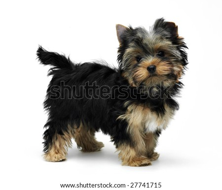Young funny yorkshire terrier standing on white background - stock photo