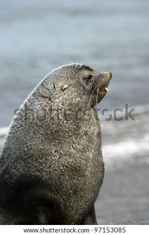 Young Fur Seals at South Georgia (Sub Antarctica)