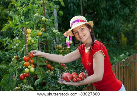 Young gardener woman harvesting tomatoes