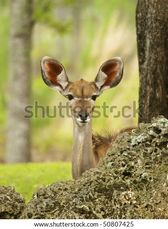 Young Gazelle Peeking