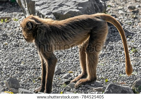 Young Gelada baboon. Latin name - Theropithecus gelada  #784525405