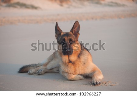 Young German Shepherd on the beach during sunrise