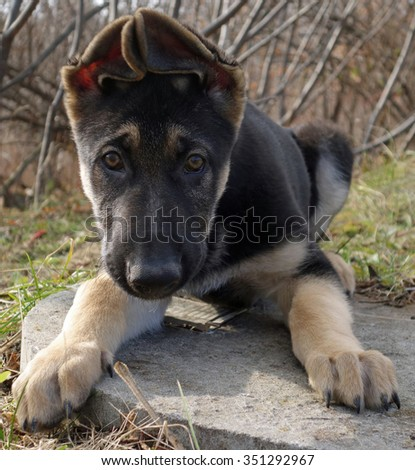 Young German Shepherd Puppy Eyes Face - Little black and tan German shepherd puppy, Close up puppy eyes dog face photo print.