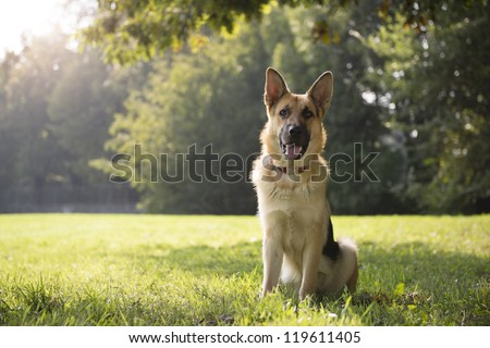 young german shepherd sitting on grass in park and looking with attention at camera