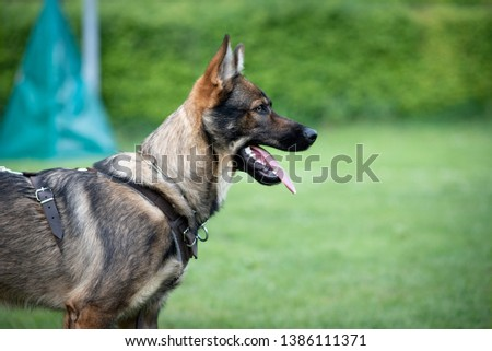 Young German shepherd starting dog sport  #1386111371