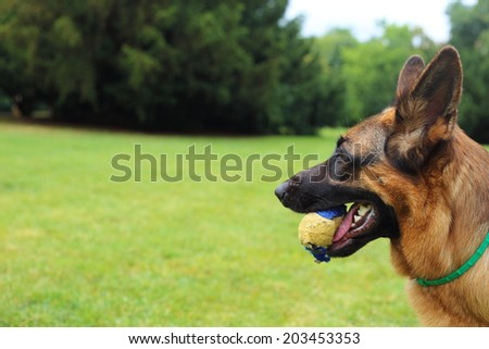 young German Shepherd with a toy on the grass, German Shepherd, young German Shepherd, German Shepherd on the grass, dog in the park
