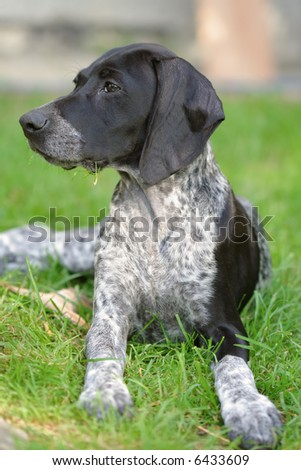Short Hair Pointer Dogs. german shorthaired pointer