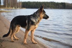 Young germanshepherd in the lake