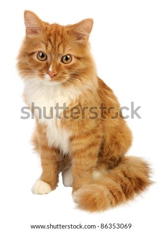Young ginger cat, isolated on a white background