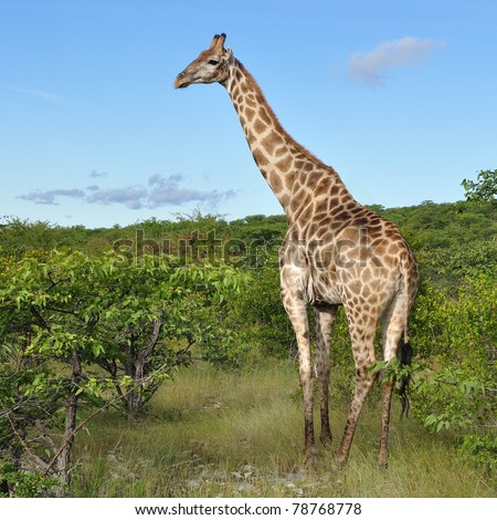 young giraffe in Etosha national reserve